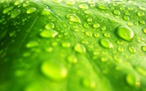 Water on Leaf 2